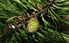 Free Birth Of A Pine Cone Stock Image - 113581