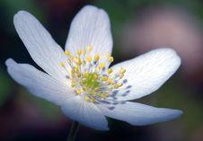 Free White Flower Stock Photo - 113790