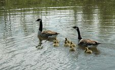 Free Canadian Goose Family Royalty Free Stock Photos - 114558