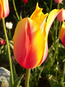 Free Tulip In The Sun Stock Photos - 114633
