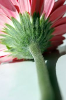 Free Gerbera Backside Stock Images - 114704