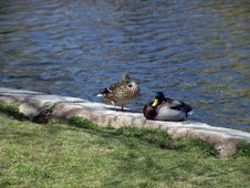 Free Male And Female Mallard Ducks Stock Photos - 115293