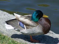 Free Male Mallard Duck Stock Image - 115301
