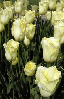 Free Yellow Tulips Stock Photography - 116152