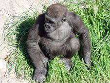 Free Nesting Gorilla Stock Photos - 117803