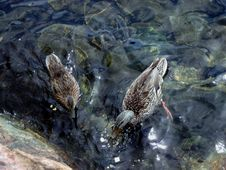 Free Ducks In Water Stock Photo - 117830