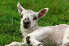 Free The Lamb Stock Images - 117934
