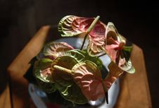 Free Anthurium Stock Image - 117981