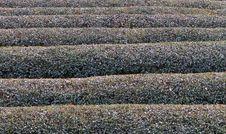 Free Tea Field In Winter Texture Stock Photos - 118273