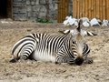 Free Zebra In The Zoo Stock Image - 1101151