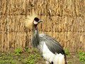 Free Crowned Crane Stock Images - 1101494