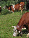 Free Two Cows Royalty Free Stock Photography - 1103157