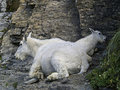 Free Mother And Baby Mountain Goat Royalty Free Stock Photo - 1103745