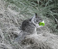 Free Squirrels Breakfast Royalty Free Stock Photos - 1106458