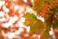 Free Autumn Maple Royalty Free Stock Photo - 1107515