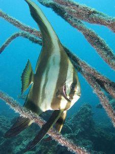 Tallfin Batfish Stock Images