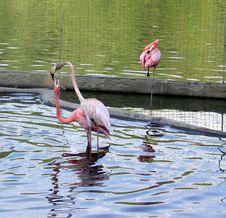 Free Flamingo Stock Images - 1100184