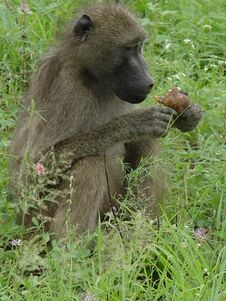 Baboon Eating Stock Images