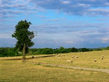 Free Sheep In The Field Royalty Free Stock Image - 1101026