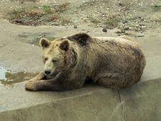 Brown Bear Resting Royalty Free Stock Image