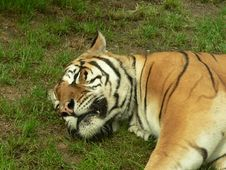 Sleeping Tiger - Close Up Royalty Free Stock Photos