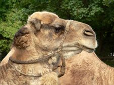 Camel Head - Close Up Royalty Free Stock Photos
