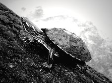 Free Basking Turtle Royalty Free Stock Photography - 1102227