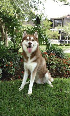 Free Siberian Husky Royalty Free Stock Photography - 1102387