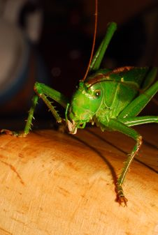 Free Grasshopper 4 Royalty Free Stock Photography - 1102597