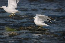 Free Departure Of Seagulls Royalty Free Stock Image - 1103026