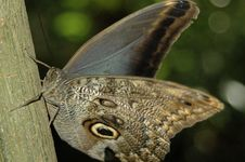 Free Caligo Eurilochus Owl Butterfly 3252 Royalty Free Stock Photo - 1103185