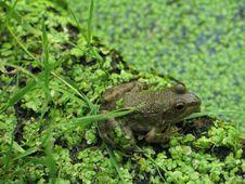 Close-up Frog 2 Stock Photos