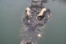 Free Crocodile Close Up Stock Images - 1103744