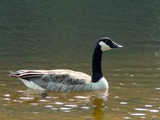 Free Goose On The Lake Royalty Free Stock Images - 1104869