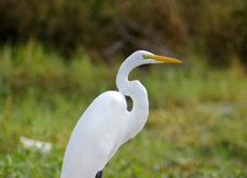 Free Egret Close Up Stock Photography - 1105122