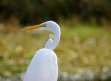 Free Curious Egret Stock Photos - 1105123