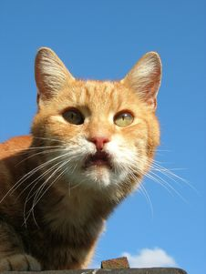 Free Ginger Tom Royalty Free Stock Photos - 1105258