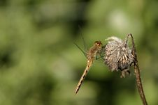 Free Dragonfly On Dead Plant Stock Photo - 1105270
