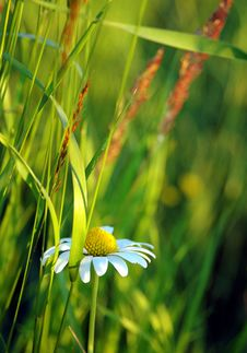 Free Daisy Royalty Free Stock Images - 1106639