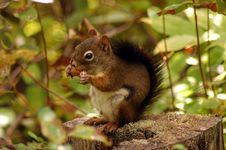 Free Sid The Squirrel Royalty Free Stock Photography - 1107317