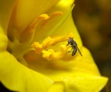 Free A Fly On The Yellow Flower Royalty Free Stock Photography - 1107357