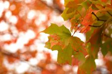 Free Autumn Maple Royalty Free Stock Photo - 1107515