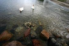 Free Sea Swans Stock Photos - 1108463