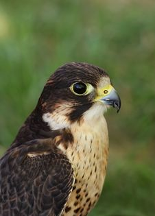 Free Bird Of Prey Stock Photography - 1109152
