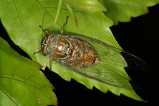 Free Cicada On Leaves Stock Image - 1109981