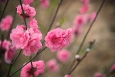 Free Selective Focus Photography Of Pink Petaled Flowers Royalty Free Stock Photography - 110046957