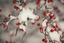 Free Tree With Fruit Covered With Snow Royalty Free Stock Photo - 110046985