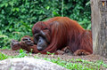 Free Orangutan Royalty Free Stock Photography - 11014177