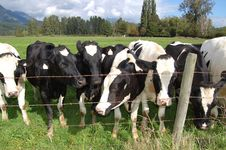Free Black And White Cows Stock Images - 11016344