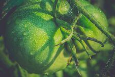 Free Green Tomato And Waterdrops Retro Royalty Free Stock Photo - 110118805